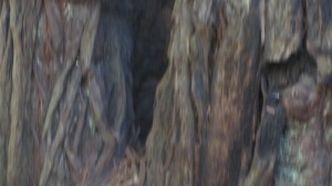 Muir Woods Trees