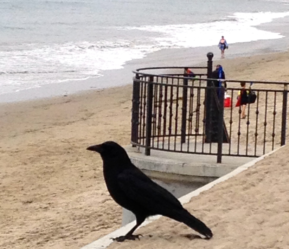 Black crow taking in the view at Butterfly Beach in Montecito, CA.
